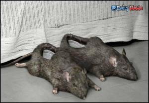 My Rat's future